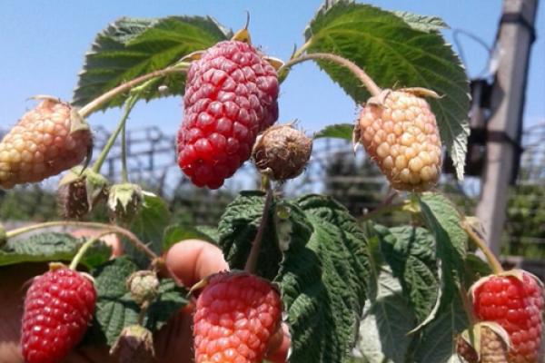 berries-kz-2123313CF-9AAD-F65B-166A-974C256DFFD8.jpg