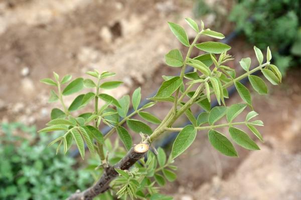 kz-walnut-gardens-zakladka-4F6B08102-6BE2-7EE6-FC9C-3D37105F8C85.jpg